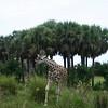 Kilimanjaro Safaris - baby Reticulated Giraffe