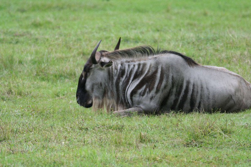 Kilimanjaro Safaris - White-Bearded Wildebeest