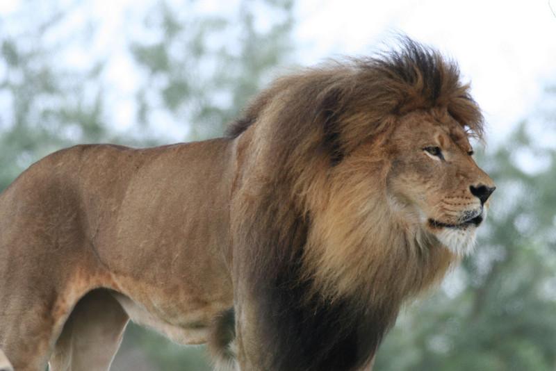 Kilimanjaro Safaris - Lion
