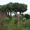 Kilimanjaro Safaris - baby Reticulated Giraffe