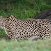Kilimanjaro Safaris - Cheetah