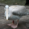 Kilimanjaro Safaris - Pink-Backed Pelican