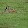 Kilimanjaro Safaris - Thompson's Gazelle