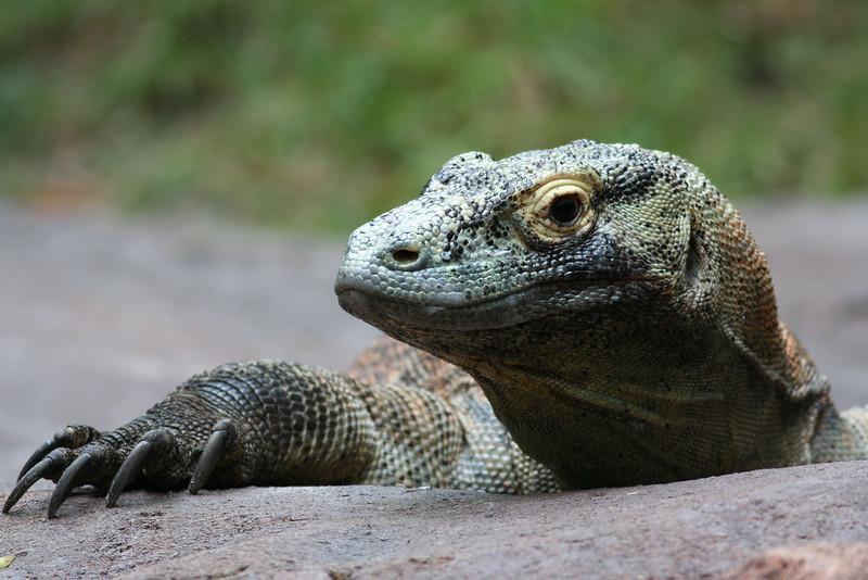 Maharajah Jungle Trek - Komodo Dragon
