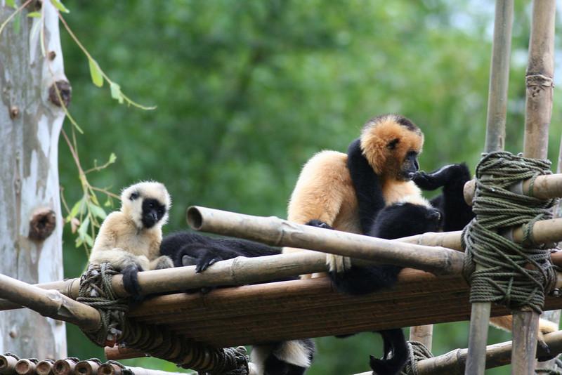 Asia - White-Cheeked Gibbon