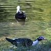 Unknown duck species (leucistic mallards?) (wild)