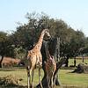 Kilimanjaro Safaris - Giraffes