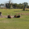 Kilimanjaro Safaris - Ankole Cattle