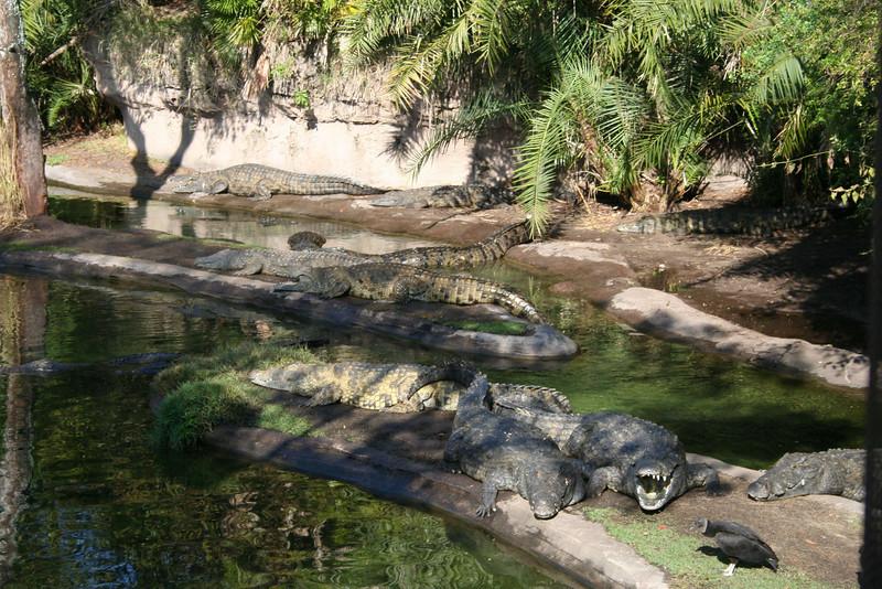 Kilimanjaro Safaris - Nile Crocodiles