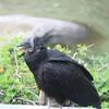 Kilimanjaro Safaris - Black Vulture (wild)