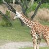 Kilimanjaro Safaris - Giraffe