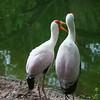 Kilimanjaro Safaris - Yellow-Billed Stork