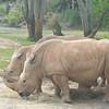 Kilimanjaro Safaris - White Rhinoceros