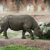 Kilimanjaro Safaris - Black Rhinoceros