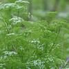 Mock Bishop's Weed