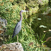 Little Blue Heron in China