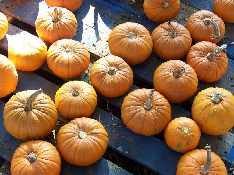Smaller pumpkins for sale at the pumpkin patch.<br /> [Celebration, Florida]