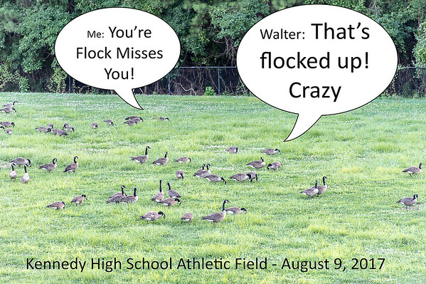 8/9/2017 - In a running joke about the geese who wouldn't leave the Kennedy High School athletic field...
