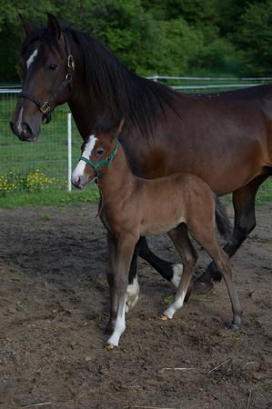 2013 Lipizzan Foals