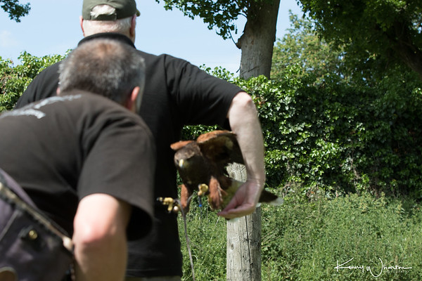 Its a blurred shot but proves the Harris Hawk can attack through small gaps