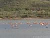 De flamingo's zijn nog vooral in rust; een jonge op de voorgrond
