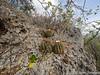 Veel bolcactussen op de rotsen
