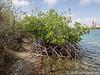 Mangroven langs de waterkant