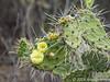 Bloeiende Infrou (Schijfcactus)