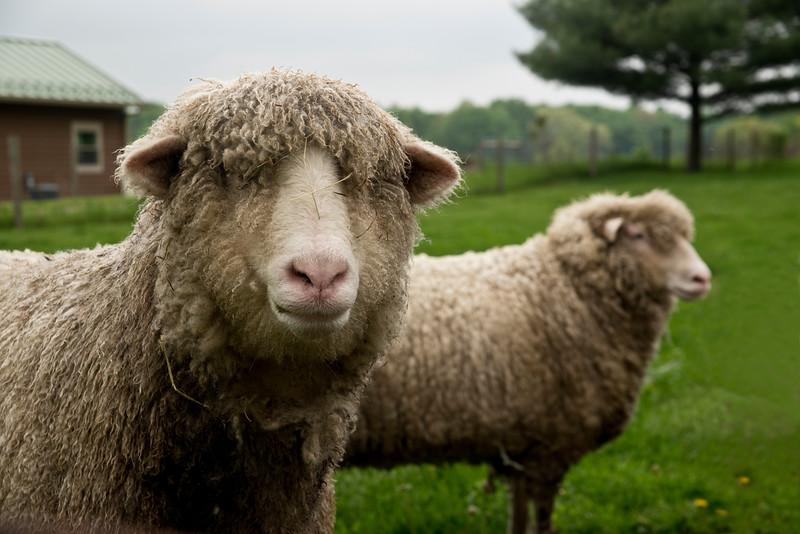 Earthworks sheep