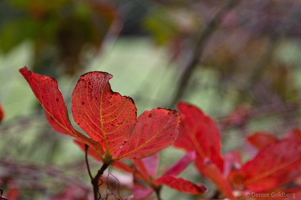 red leaves veined in yellow