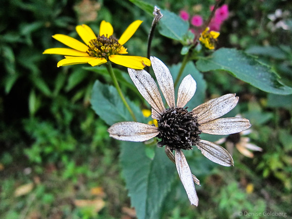 black-eyed susan, faded petals