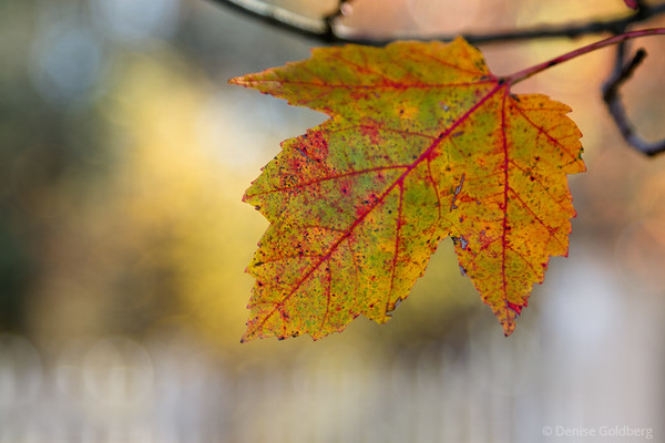 fading leaf colors, veins in red