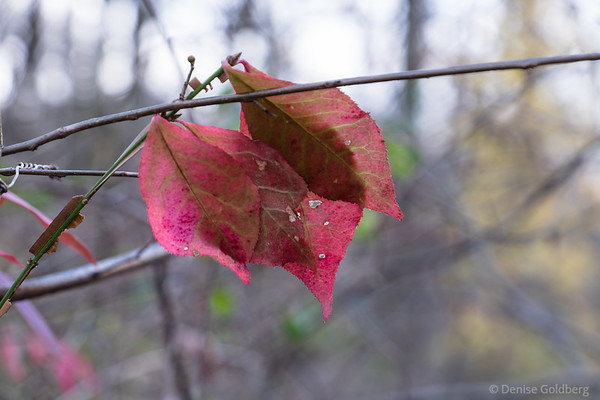 leaves in red