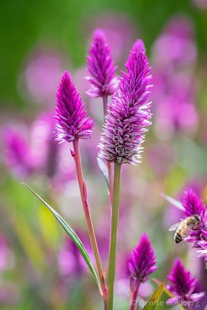 celosia spicata in bright pink