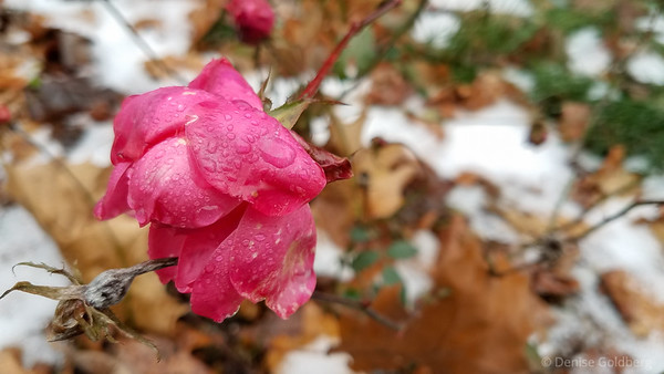 late season rose