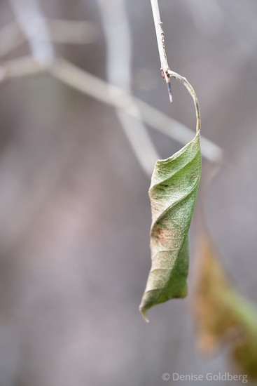 curled leaf, at end of life