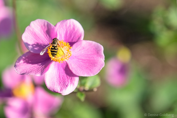 a bee and an anemone
