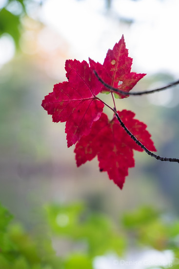 three leaves in red