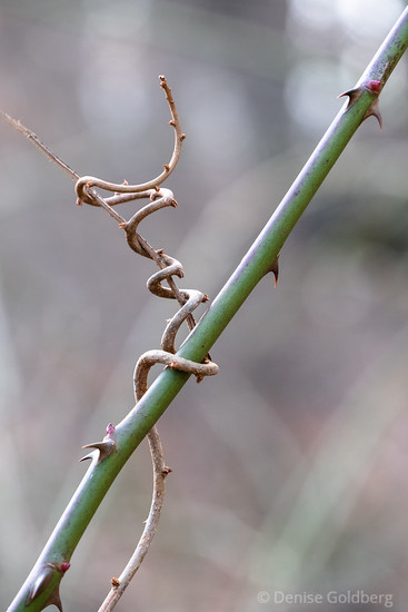 vines, twisting
