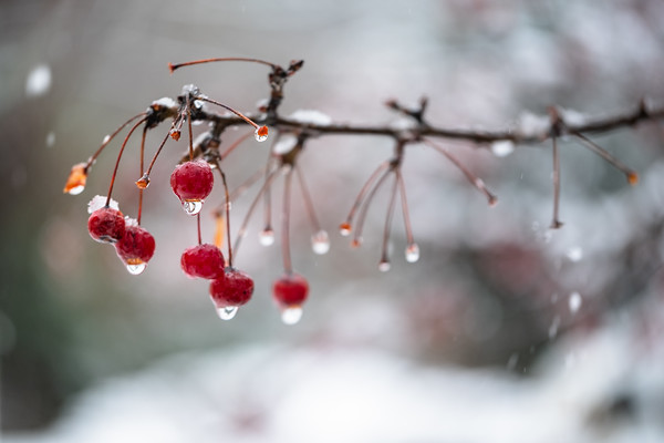 falling snow on berries