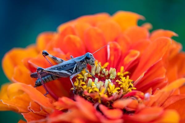 grasshopper on zinnia