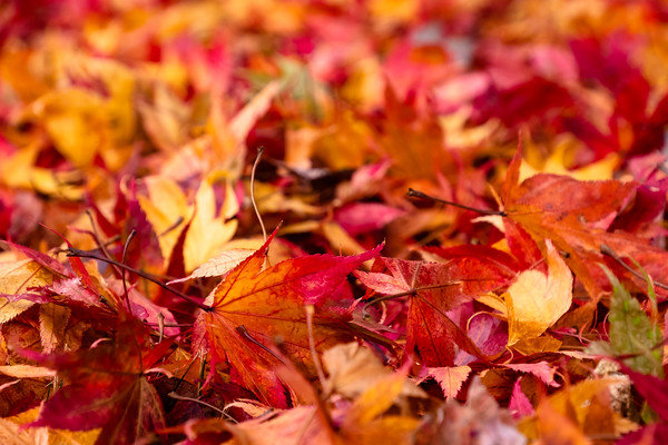 leaves on the ground, Japanese maple