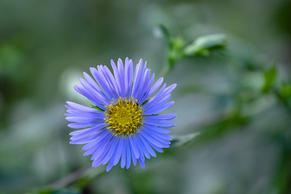 aster in lavender