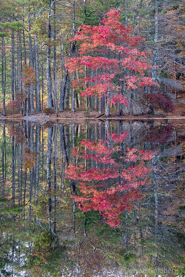 tree wearing autumn leaves, reflected