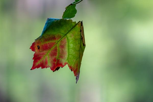 autumn colored maple leaf