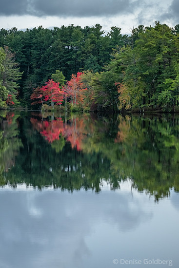 trees wearing red leaves in Harold Parker State Forest