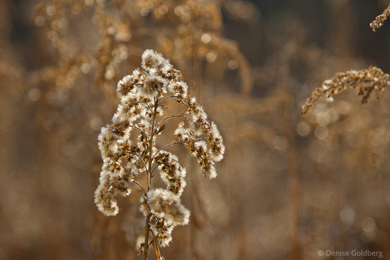 remnants of flowers, dried, fluffy, glistening