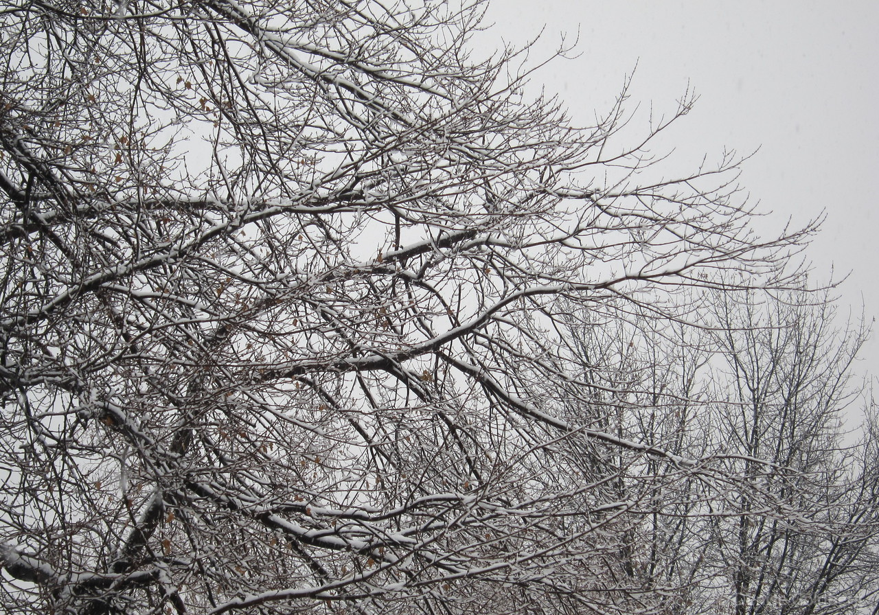 branches coated with (too) early snow