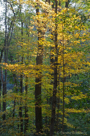 tall trees wearing yellow leaves
