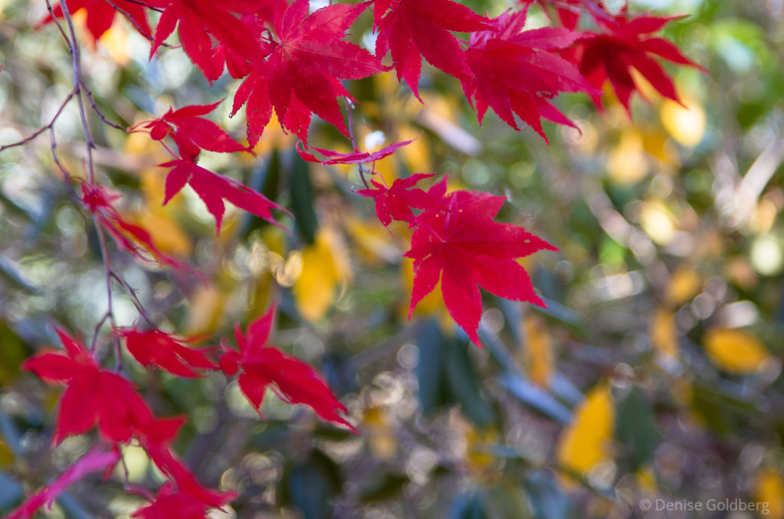 leaves of a Japanese Maple, in bright red
